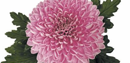 Chrysantheme grosses fleurs orchestra