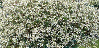Euphorbe hypericifolia