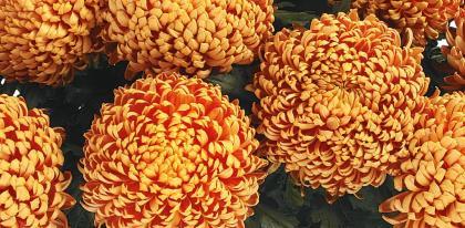 Chrysantheme grosses fleurs traditionnelles