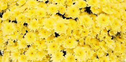 Chrysantheme pre-toussaint
