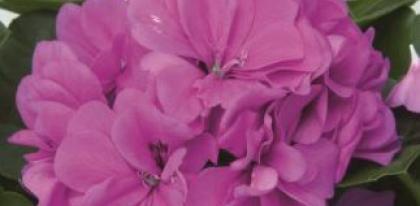 Pelargonium peltatum double