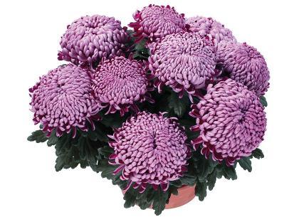 Cornemuse violet