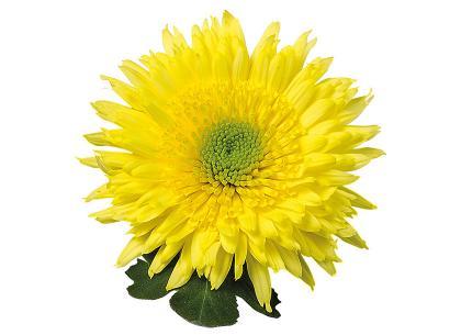 Rosela jaune vif