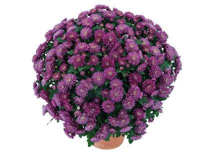 Colombine violet
