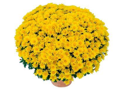 Brazero jaune