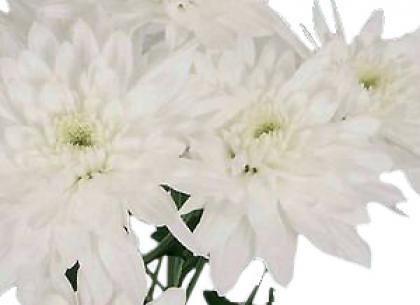 Calabria white
