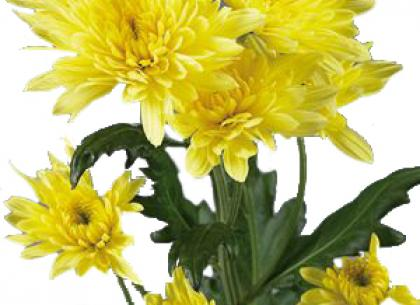 Calabria yellow