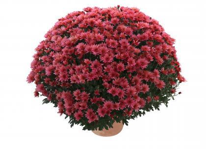Caldera rose