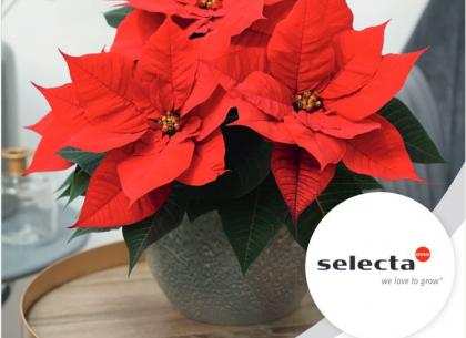 Poinsettias 2021