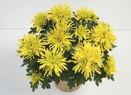 Fontana jaune