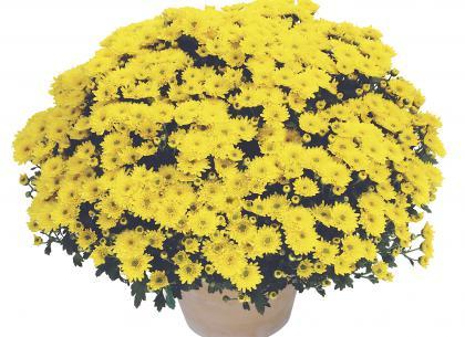 Maya jaune