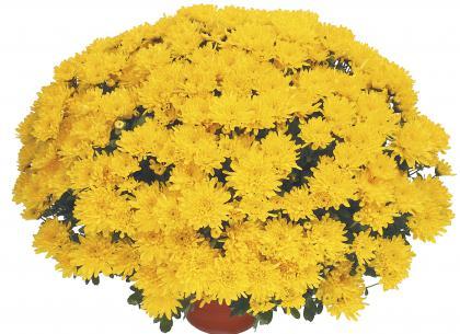 Tabata jaune