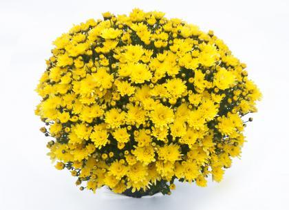 Viva jaune