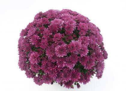 Yooky violet