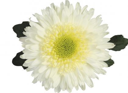 Rosela blanc