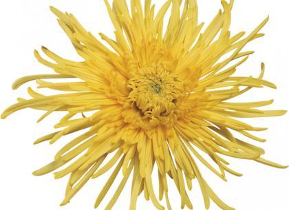 Spiro jaune