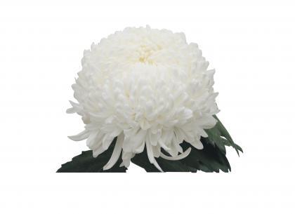 Celesta blanc