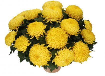 Clavecin jaune