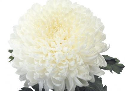Kena blanc