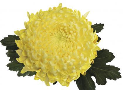 Kena jaune