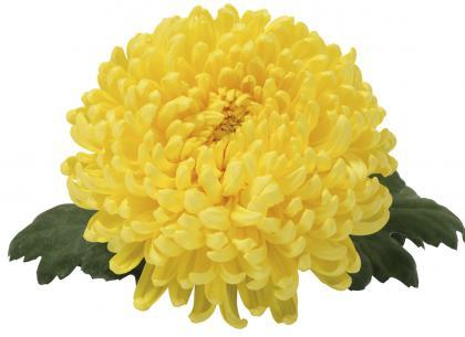 Laurine jaune