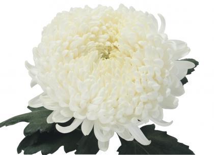Luth blanc