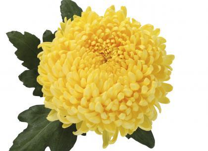 Luth jaune