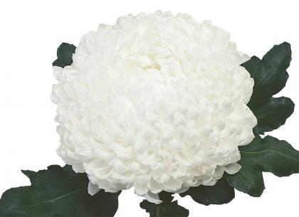 Lyre blanc