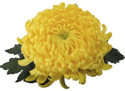 Toccata jaune