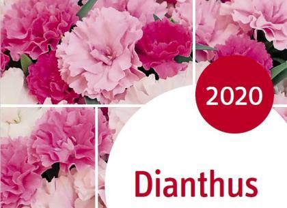 Dianthus 2020