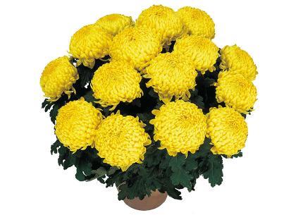Louisette jaune
