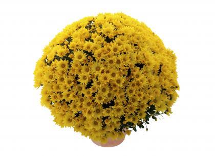 Nativa jaune