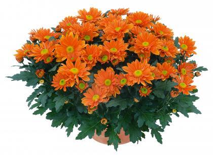 Madison orange