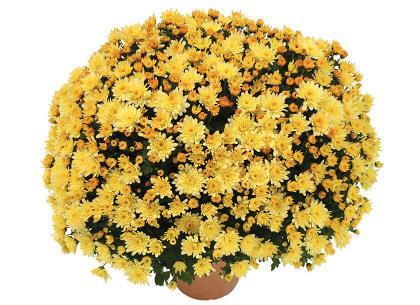 Adria jaune