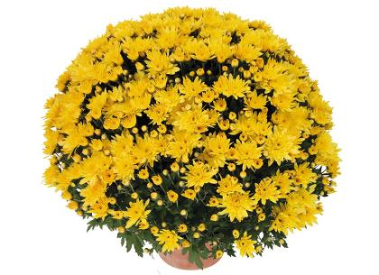 Banga jaune