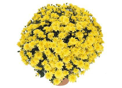 Burma jaune