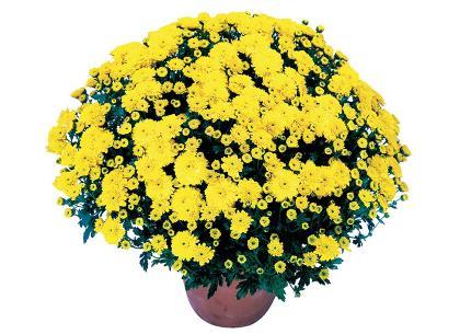 Clara jaune