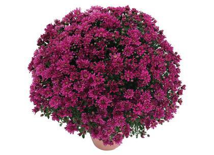 Melissa violet