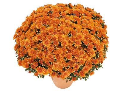 Brazero orange