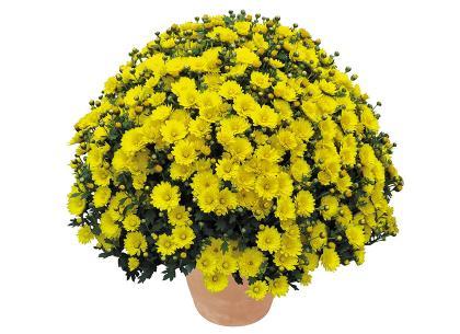 Piezzo jaune