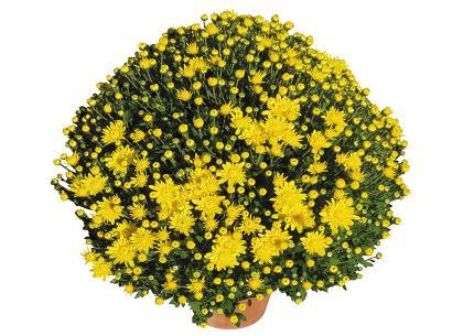 Rando jaune