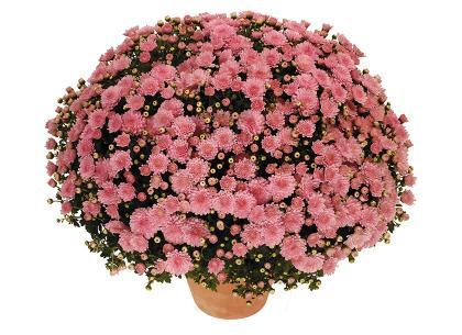 Toubo rose