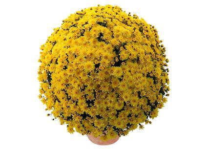 Solea jaune