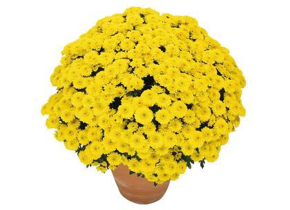 Sympa jaune