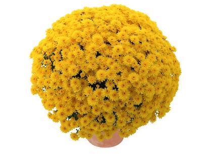 Tania jaune