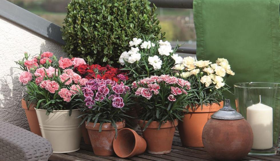 Découvrez notre collection de Dianthus
