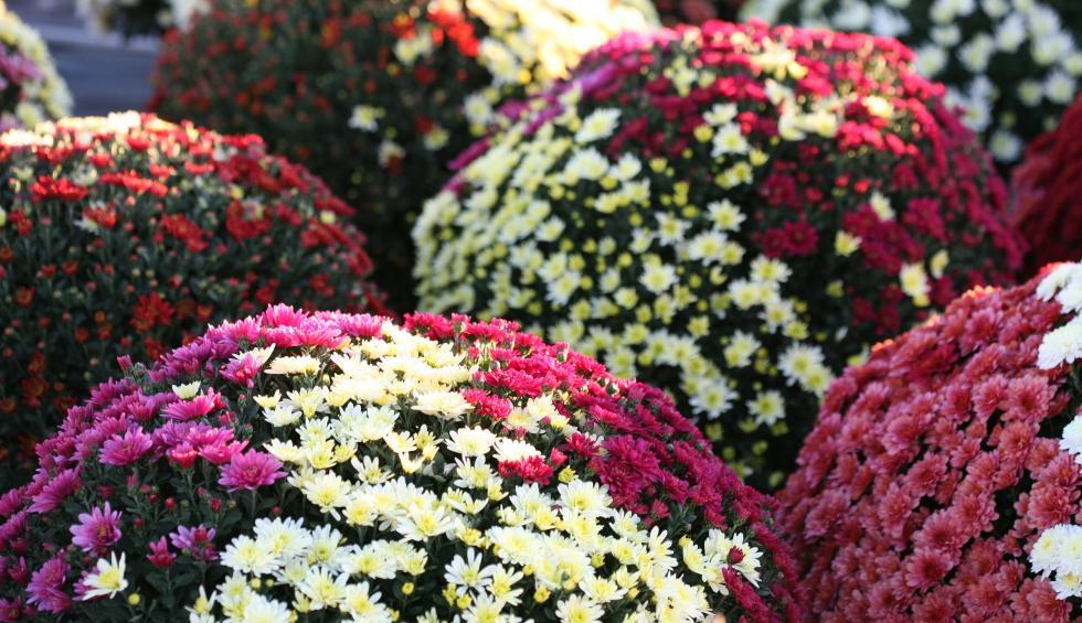 Des idées de mélanges chrysanthèmes?